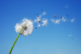 istockphoto_3537940-dandelion-clock-dispersing-seed-with-blue-sky-in-the-background PAID FOR